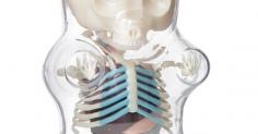 Anatomical Toy